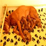 images/juli-pups-2016/nest.jpg